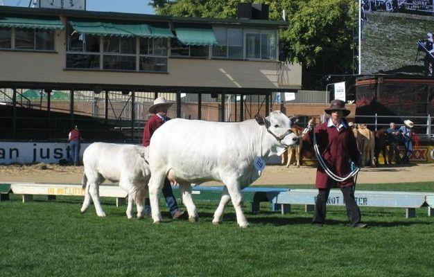 Senior Champion Cow