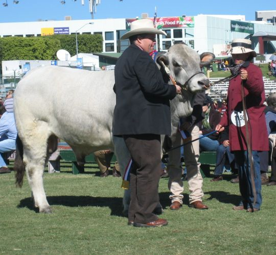Grand Champion Bull - Remus Cointreau