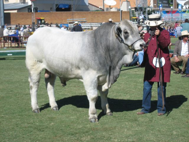 Junior Champion Bull - Remus Cointreau