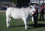 Junior Champion Heifer - Hamilton Park Cheesecake
