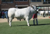 Senior Champion Bull - Wyoming Abe