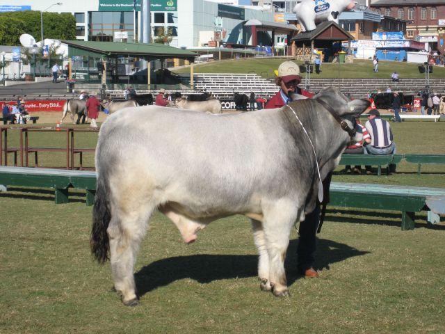 Reserve Junior Champion Bull - Wyoming Dario