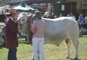 Reserve Senior Champion Bull - Hamilton Park Conman