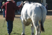 Junior Champion Bull - Remus Cougar